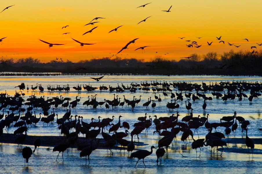 Sandhill cranes resting in Nebraska during their annual migration